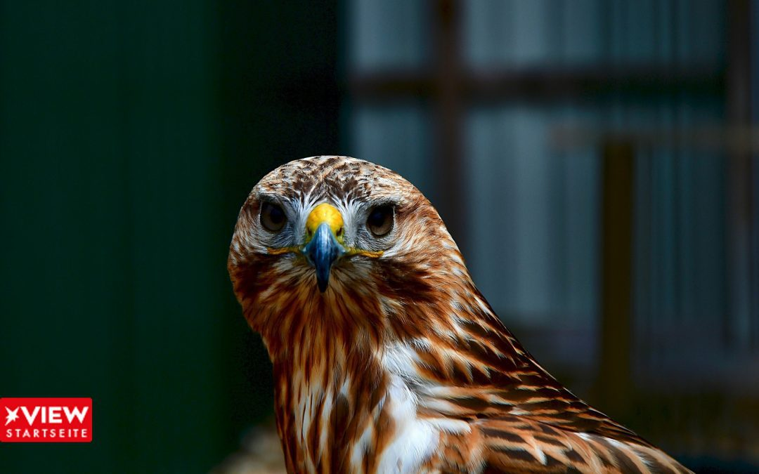 Falke – Falcon
